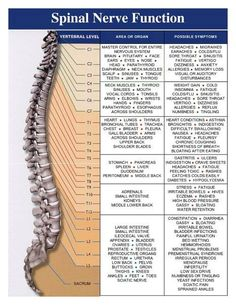 Spinal Nerves function