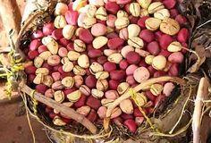 EBOLA: NUECES DE GARCINIA KOLA. La Garcinia kola se cultiva en Nigeria desde el siglo 19 en su mayoría en el suroeste de Nigeria. Estas nueces de cola ...