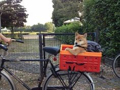 Kyra the Shiba getting a ride