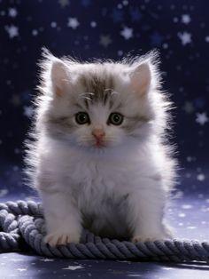 Jane Burton - Domestic Cat, 7-Week Fluffy Silver and White Kitten