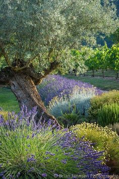 Latest Snap Shots french Garden Patio Tips There's much to consider with regards to planning your perfect garden patio. You will need to cons Garden Shrubs, Garden Paths, Garden Landscaping, Fresco, Italian Cypress Trees, Lantana Camara, Pergola, Italian Garden, Garden Guide