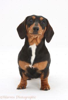 Go to Hoosier dachshunds on Facebook.