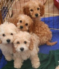 Cockapoo puppies! This is just like the litter Teddy's came from. He's the first in the picture with the darker ears.