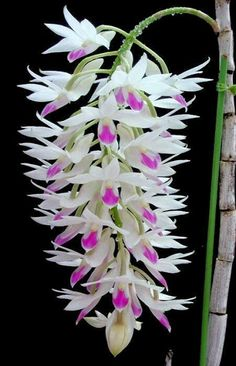 Dendrobium Amethystoglossum orchids in full bloom Unusual Flowers, Rare Flowers, Flowers Nature, Amazing Flowers, Beautiful Flowers, Orchid Flowers, Purple Orchids, Different Flowers, Simply Beautiful