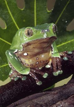 The waxy tree #frog, found in the arid Gran Chaco of South America, produces a waxy substance that it rubs all over its skin to prevent evaporation.