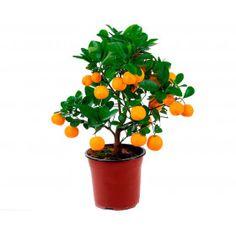 Мандариновое дерево (бонсай) Planter Pots