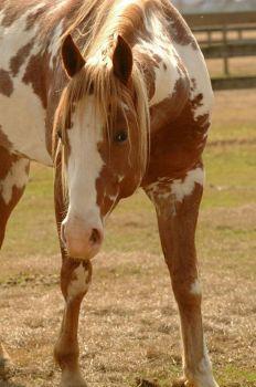paard (77 pieces)