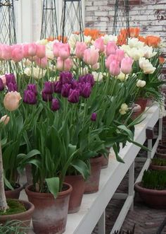Many tulips species and cultivars are easily forced.