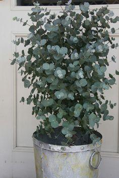 Bushy eucalyptus in pot