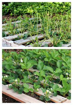 pallet garden - bottom's strawberries!
