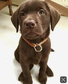 Look at this chocolate munchkin ?You can find Lab puppies and more on our website.Look at this chocolate munchkin ? Labrador Retriever Chocolate, Brown Labrador, Chocolate Lab Puppies, Chocolate Labs, Labrador Puppies, Retriever Puppies, Labrador Retrievers, Golden Retrievers, Super Cute Puppies