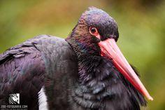 Schwarzer Storch Cumberland Wildpark Grünau Bird, Animals, Black, Animales, Animaux, Birds, Animal, Animais