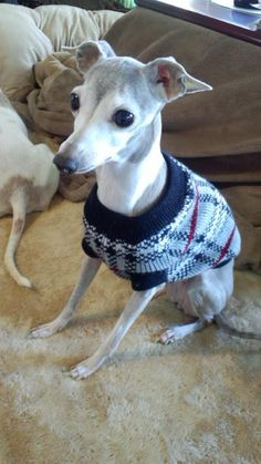 italian greyhound   Phoebe ♥