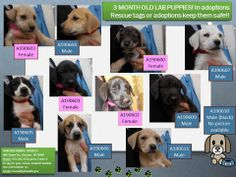 Garland, TX  All others, still there! 3 month old Lab puppies! In adoptions.... need homes!! Please share!
