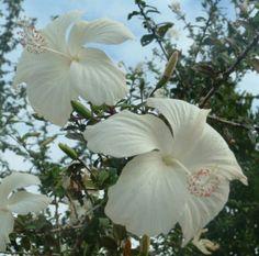 White Hibiscus - Tonga