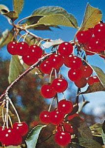 Cherries grow on stems that hang from tree branches.