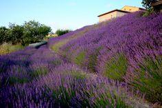 lavender on the slope.  Found on Anthony Paul Landscape Design