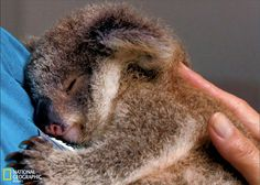 ❤•❦•:*´¨`*:•❦•❤Koalas Sleep well dearest koala