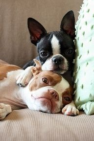 Boston Terrier snuggles!