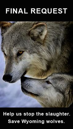 Help the Gray Wolves / On Friday, Aug. 31, 2012 the Interior Department approved a plan authorizing the mass killing of Wyoming wolves -- Give Now to Help Fight It in Court