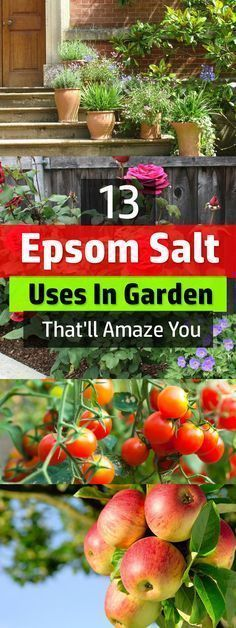 Epsom salt on plants make them lush and healthier. Find out yourself, see these 13 Epsom salt uses in garden. Those who use it swear that using Epsom salt on plants make them lush and healthier. Find out yourself, see these 13 Epsom salt uses in garden. Garden Care, Growing Plants, Growing Vegetables, Growing Onions, Growing Tomatoes, Growing Flowers, Epsom Salt Uses, Epsom Salt For Plants, Epsom Salt In Garden