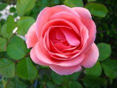 Rosa nel mio giardino.