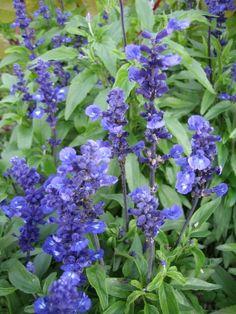 härmesalvia - Salvia fasinacea Plants, Plant, Planets
