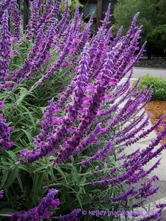Salvia leucantha - Mexican Bush Sage 'Midnight' in front yard garden November 2016 Landscaping Plants, Garden Plants, Mexican Garden, Drought Tolerant Landscape, Style Deco, Purple Garden, Flower Seeds, Dream Garden, Trees To Plant
