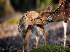 Mamá ciervo besando a su cervatillo