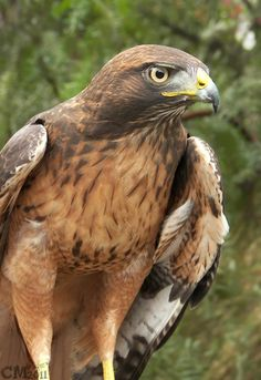 Red Tailed Hawk - beautiful bird <3