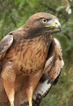 Red Tailed Hawk - beautiful bird <3