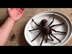 The giant bird spider, or Goliath tarantula (Latin: Theraphosa blondi), is the largest tarantula in the world and gets its name because of its enormous size and because it literally can eat whole birds. Crab Spider, Australian Spider, Wasp Stings, Large Spiders, New Funny Videos, Baboon, Pet Birds, Natural Disasters, Beauty