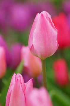 Tulipa gesneriana ( Didier's tulip)