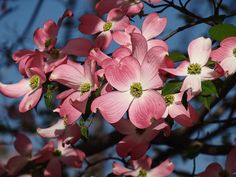 Hanamizuki (Dogwood) Blossoms