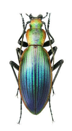 Ceroglossus magellanicus caburgansis (Deuve, 1989) F Carabidae - Cile