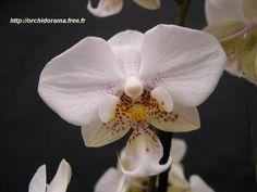 Phalaenopsis stuartiana lombard