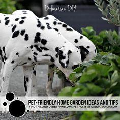 How to Create a Pet-Friendly Home Garden - Dalmatian DIY Wintry Weather, Dog Pee, Healthy Environment, Large Plants, Edible Garden, Dalmatian, Outdoor Fun, Dog Friends, Your Pet