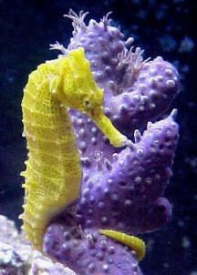 "Real or artificial, living or cured, it doesn't seem to make a difference -- branching sponges are veritable magnets for seahorses.  Colorful natural hitching posts like this will encourage brightly colored seahorses such as this Ocean Rider Hippocampus erectus to retain their vivid wardrobes.""  Photo by Leslie Leddo"