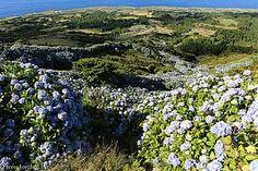 Hortensien auf Faial