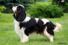 Cavalier King Charles Spaniel Tricolor - Pictures