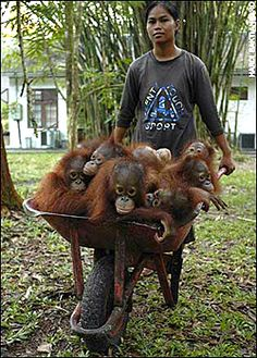 The BOS Nyaru Menteng Reintroduction Center was founded in 1999 by Lone Dröscher Nielsen and Odom Kisar. Today it is home to more than 600 orphaned and displaced orangutans and has hundreds of employees.