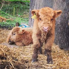 If You Ever Feel Sad, These Highland Cattle Calves Will Make You Smile Cute Baby Cow, Baby Cows, Cute Babies, Baby Elephants, Cute Sheep, Cute Cows, Cute Little Animals, Cute Funny Animals, Blow Dried Cow