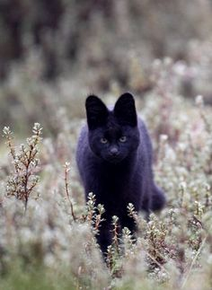 ok, this has nothing to do with Finn's shower, but i thought you'd love this... Melanistic Serval