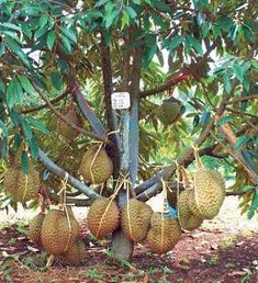 Cara Merawat Tanaman Dan Aneka Tanaman Hias: Tips Memilih Bibit . Dwarf Fruit Trees, Growing Fruit Trees, Fruit Plants, Veg Garden, Fruit Garden, Garden Boxes, Growing Potatoes In Bags, Durian Tree, Dragon Fruit Plant
