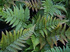 6 x Dryopteris Erythrosora - Goudschubvaren Pot Fern Images, Yoga Garden, Autumn Fern, Botany, Plant Leaves, Succulents, Flowers, Outdoors, Gardening