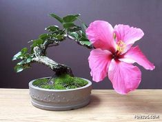 Hibiscus- take a little bit of paradise back to the USA when we move. This is my favorite flower here