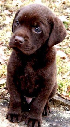 Chocolate Lab Puppies, Chocolate Labrador Retriever, Labrador Retriever Dog, Chocolate Labs, Cute Labrador Puppies, Cute Dogs And Puppies, Baby Dogs, Doggies, Corgi Puppies