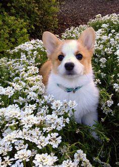 15 Dogs That Love Springtime Corgi Hunde-Lustige Hunde Cute Corgi Puppy, Corgi Dog, Cute Puppies, Cute Dogs, Dogs And Puppies, Baby Dogs, Puppies Tips, Awesome Dogs, Pomeranian Puppy