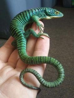 Abronia Graminea, Mexican Arboreal Alligator Lizard