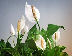 You've a spathiphyllum or moon flower and also you wish to take pleasure in it for a very long time. Upkeep and repotting, watering and doable illnesses, listed below are the ideas for a phenomenal flowering of your moon flower, the spathiphyllum Planting Succulents, Planting Flowers, Flowers Garden, Herbs Image, Lucky Plant, Flower Pot Design, Decoration Plante, Home Flowers, Peace Lily